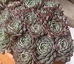 로이드(묵은한몸)|Echeveria minima hyb Roid