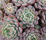 로이드군생|Echeveria minima hyb Roid