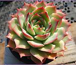 핑크팁스1104-2|Echeveria Pink Tips