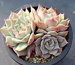 핑크팁스 군생 A4672|Echeveria Pink Tips