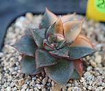 모노케로티스금(잎하나화상자국) 11-20|Echeveria Monocerotis