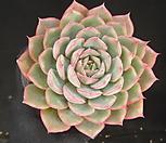 핑크팁스(중) 17-298|Echeveria Pink Tips