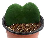 샴덩굴초(하트호야/무지)|Hoya carnosa