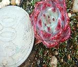 원종사라히메-일본수입상품|Echeveria Sarahime