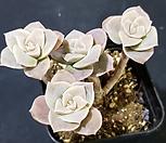 묵은목대러블리로즈1690 Lovely Rose