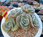 러블리로즈 자연군생11-368 Lovely Rose