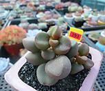 리틀스페로이드 자연군생11-393|Echeveria minima hyb Roid