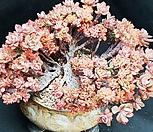 브라이언로즈철화1110-11 Echeveria Briar Rose