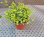 트리안(물방울처럼  생긴아이입니다)|Muehlenbekia complexa