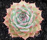 핑크팁스1112|Echeveria Pink Tips