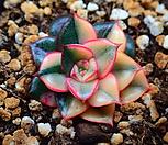 모노 금_r185|Echeveria Monocerotis