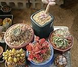 멕시코미니마,수연,오비리데,아메치스,천대전송철화,핑크팁스 6종세트|Graptopetalum amethystinum