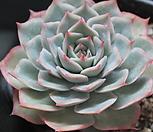 핑크팁스 135456|Echeveria Pink Tips