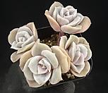 러블리로즈 19-227 Lovely Rose