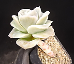 러블리로즈(중) 19-325 Lovely Rose