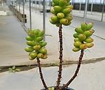 환엽송록목대50|Sedum lucidum Obesum