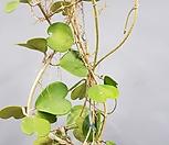 하트호야/대품/공중식물/호야/꽃피는호야|Hoya carnosa