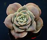 러블리 로즈_r268 Lovely Rose
