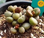 리틀스페로이드|Echeveria minima hyb Roid
