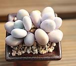 문스톤2두 111431|Pachyphytum Oviferum Moon Stone