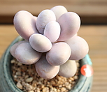 문스톤 111433|Pachyphytum Oviferum Moon Stone