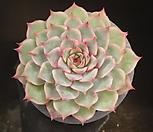 핑크팁스(중) 20-114|Echeveria Pink Tips