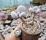 문스톤(45)ㅡ자연군생|Pachyphytum Oviferum Moon Stone