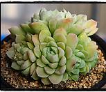 휴밀리스군생중품(묵은둥이,자연)|Echeveria hughmillus