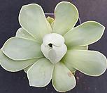 기간티아(대형종) 482 Greenovia diplocycla var.gigantea