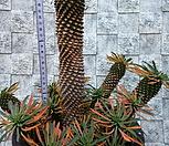 단풍든 괴마옥특대|Euphorbia hypogaea
