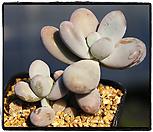 문스톤군생(자연군생)|Pachyphytum Oviferum Moon Stone