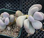 홍미인 묵은둥이 66|Pachyphytum ovefeum cv. momobijin