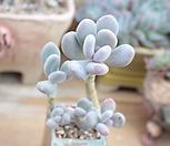 홍미인 묵은한몸|Pachyphytum ovefeum cv. momobijin