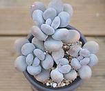 묵은 홍미인 각몸합식|Pachyphytum ovefeum cv. momobijin