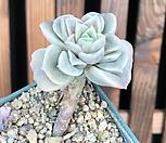 러블리로즈(변이) 20-362 Lovely Rose