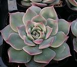 핑크팁스 랜덤|Echeveria Pink Tips