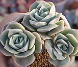 러블리로즈자연목대군생한몸 Lovely Rose