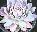 바이올렛퀸 군생 (XK1622)|Echeveria Violet Queen