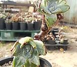 환엽블러프레쳐스214 2두|Dudleya farinosa Bluff Lettuce