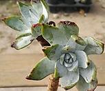 환엽블러프레쳐스216 2두|Dudleya farinosa Bluff Lettuce