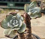 환엽블러프레쳐스218 2두|Dudleya farinosa Bluff Lettuce
