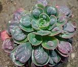 레인드랍-100-1|Echeveria Frill Raindrops