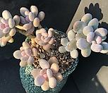 홍미인외미인모듬합식|Pachyphytum ovefeum cv. momobijin