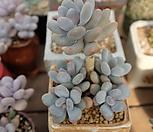 홍미인묵은둥이자연군생|Pachyphytum ovefeum cv. momobijin