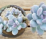 홍미인 한몸(7두)|Pachyphytum ovefeum cv. momobijin