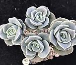 목대 러블리로즈(자연 Lovely Rose