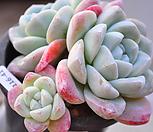아이시그린1116-41 묵은한몸군생|Echeveria Ice green