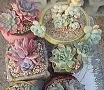 6종세트(브레이브철화,먼로,라울, 핑크팁스,레인드랍, 블랙팁|Echeveria Frill Raindrops