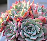 핑크팁스1116-36 묵은한몸군생적심|Echeveria Pink Tips