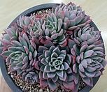 바이올렛퀸 군생|Echeveria Violet Queen